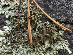 lichen and jack pine needle