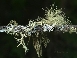 lichens on branch