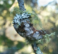 lichens on jack pine cone