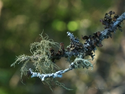 lichens on spruce branch