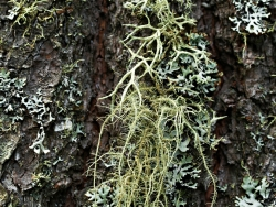 lichens on white pine bark