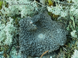 toad skin lichen
